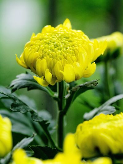 Flower Head Flower Yellow Petal Sunflower Close-up Blooming Plant Green Color