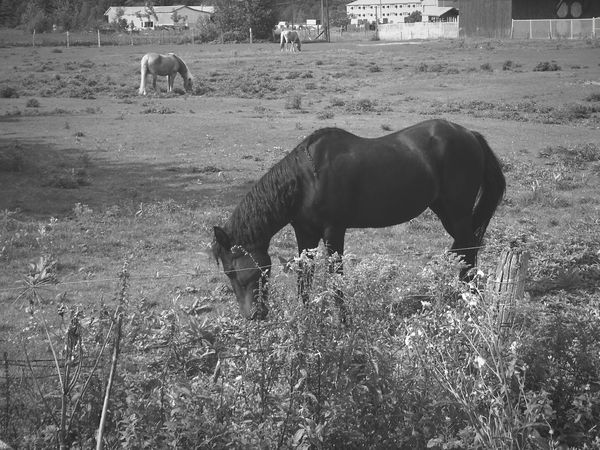 Learn & Shoot: Layering Black&white Beautiful Horses Connected With Nature