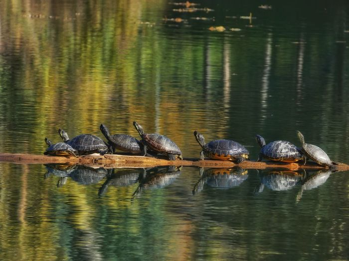 The Turtle FamilyAnimals In The Wild Animal Themes Animal Wildlife Lake No People Nature Outdoors Day Large Group Of Animals Turtlelover Turtles Sunning Turtuleindahause Wallpapers