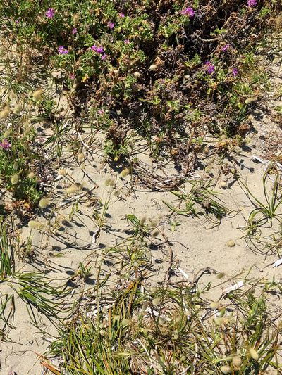 Beach vegetation on Shoalwater Bay, Rockingham, Western Australia. Shoalwater Bay Rockingham Western Australia Sand Sandy Beach October 2016 Summertime Warm Sunny Beach Vegetation Wildflowers Grass Growth Nature Plant No People Day Outdoors Flower Beauty In Nature
