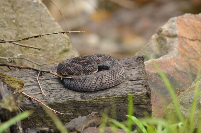 Gravid female
