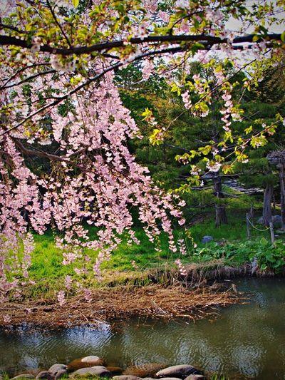 和 Japanese Style 花 Flower 桜 Landscape Hello World OLYMPUSE420