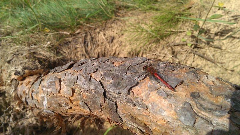 Latvia Olaine Forest Dragonfly