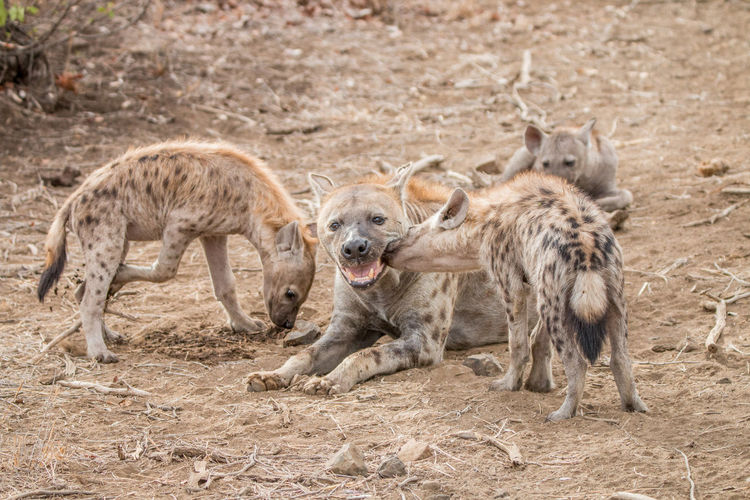 Spotted Hyenas Relaxing On Field