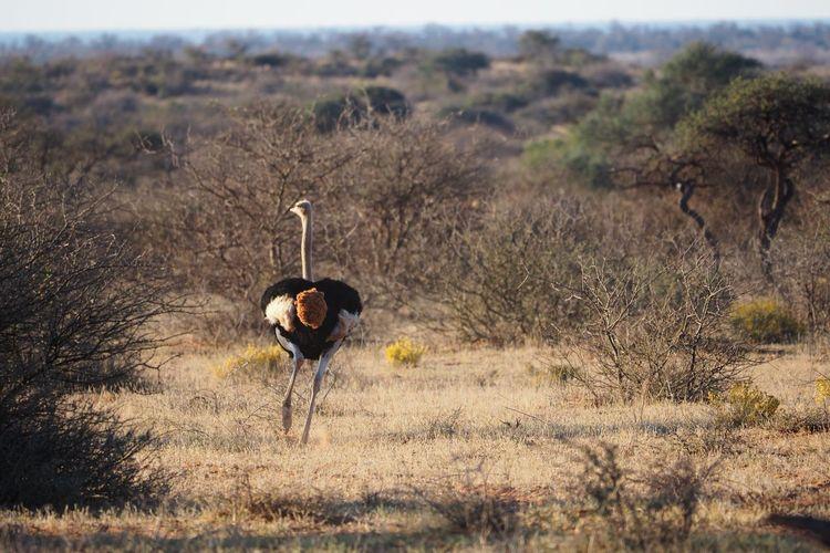 Ostrich running on field