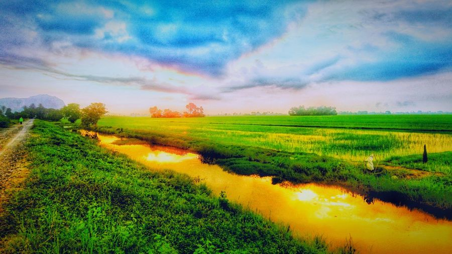 Rice Fields And