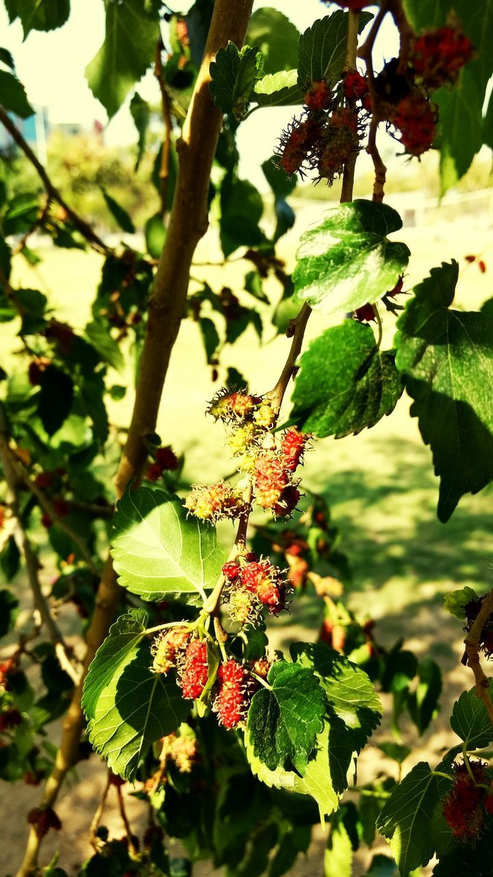 growth, beauty in nature, nature, green color, leaf, fruit, freshness, outdoors, plant, day, no people, food and drink, flower, tree, focus on foreground, branch, fragility, close-up, food, flower head