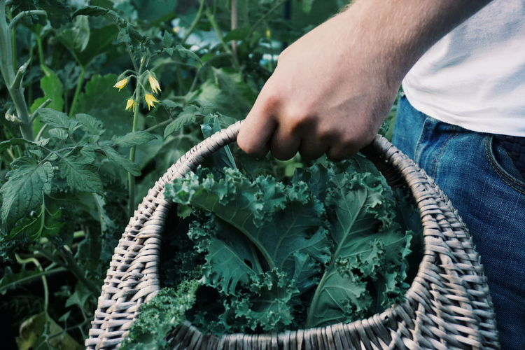 Midsection Of Woman Holding Picking Kale Leaves Basket While Standing At Vegetable Garden