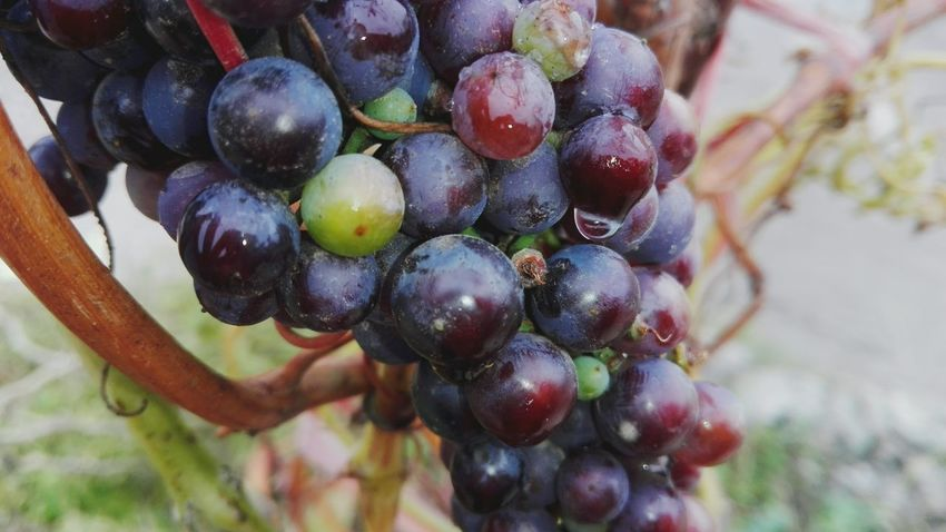 Dripping Rain Drop After Rain Grapes Drop Fruit Grape Growth Bunch Healthy Eating Slowfood No People Crop  Close-up Vine - Plant Freshness WOLFZUACHiV Photography Huawei Photography On Market Wolfzuachiv WOLFZUACHiV Photos Veronica Ionita Ionita Veronica Eyeem Market Huaweiphotography