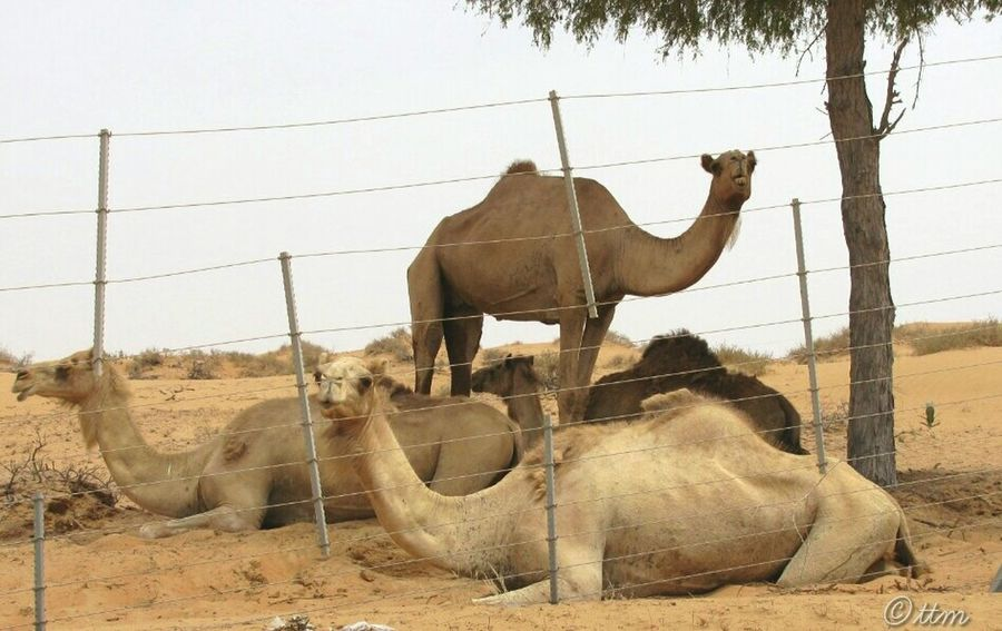 Camels Desert Beauty. Popular Photos EeYem Best Shots Desert Road Eeyem Photography Animal Photography