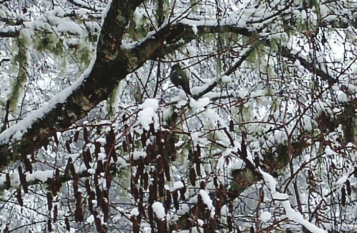Annas Hummingbird Forest Winter Snow Trees