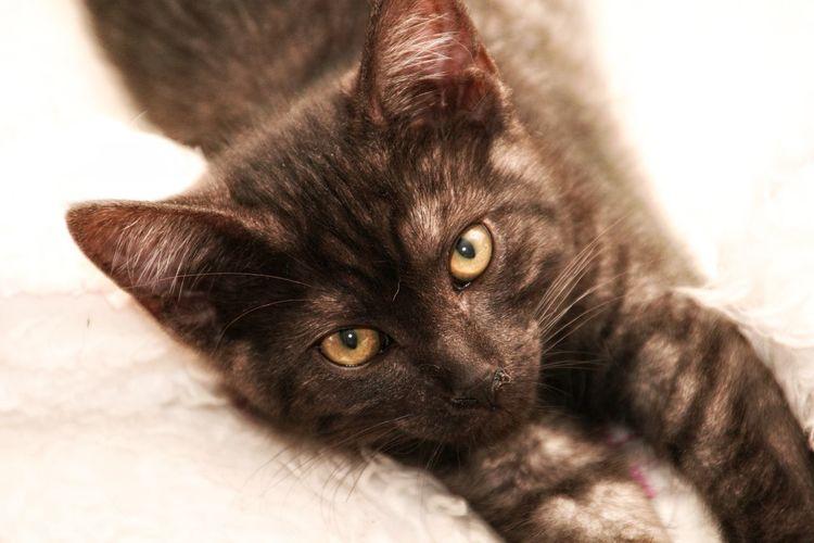 Kitten Pets