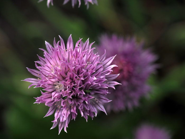 Beauty In Nature Close-up Day Flower Flower Head Flowering Plant Focus On Foreground Fragility Freshness Garden Garden Photography Growth Inflorescence Nature No People Onion Onion Blossom Petal Pink Color Plant Purple Selective Focus Spiky Vulnerability