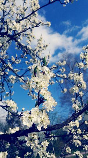 Plum Blossom Plum Tree Flowers Finland Spring