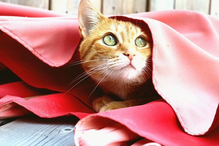 Close-up of cat looking away while sitting under fabric