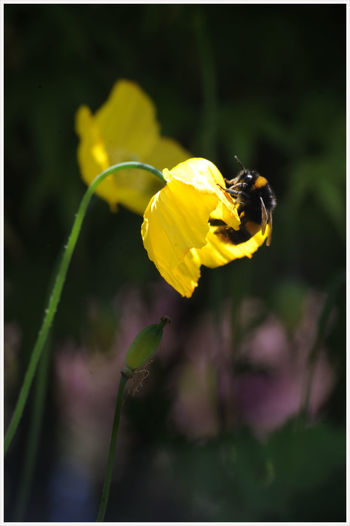 a yellow poppy... Insects Collection Summers Day Gardens In Bloom Dark Background Cottage Garden  Yellow Poppy Buzzing Pollination Honey Bee Plant Life Beehive In Bloom Symbiotic Relationship Stamen Pollen Bumblebee