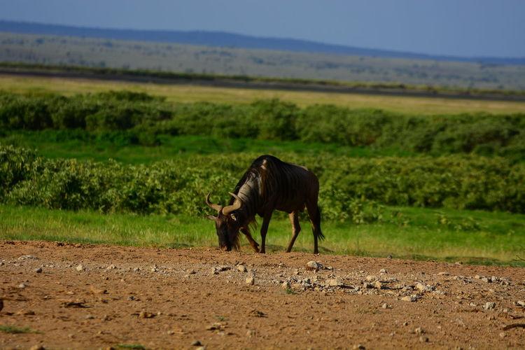 Wildebeest standing on landscape