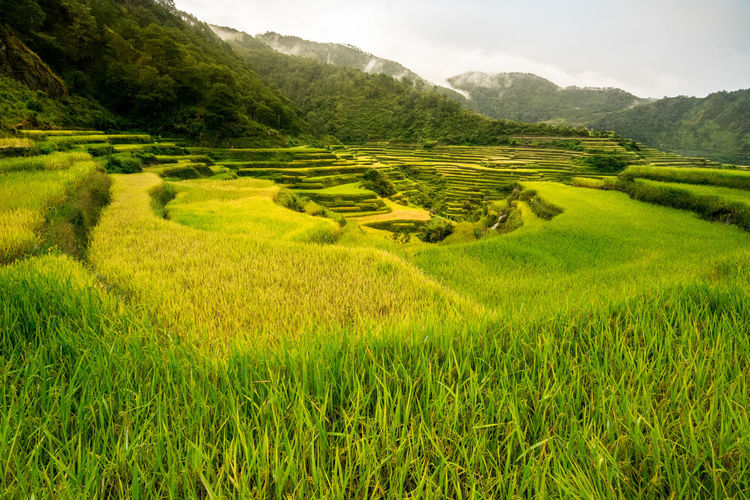 Maligcong Rice Terraces. Nikonphotography Photooftheday Instagood Picoftheday Mountain Rice Paddy Agriculture Terraced Field Field Tree Landscape Sky Agricultural Field Farmland Farm Cultivated Land Plantation Crop