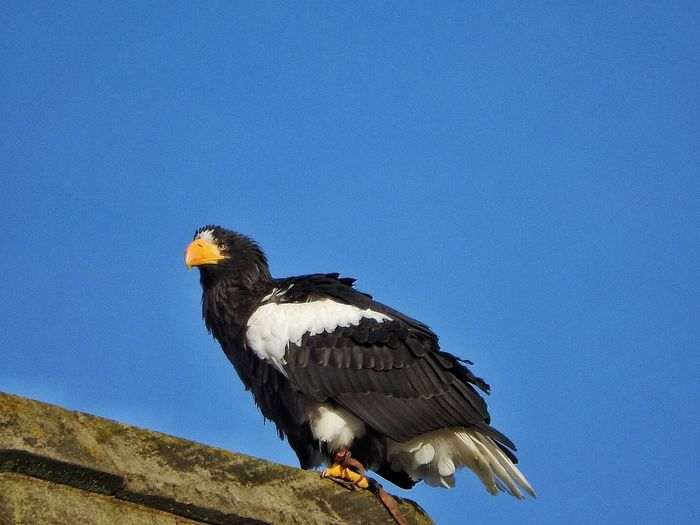 Steller sea eagle perching on retaining wall against clear blue sky