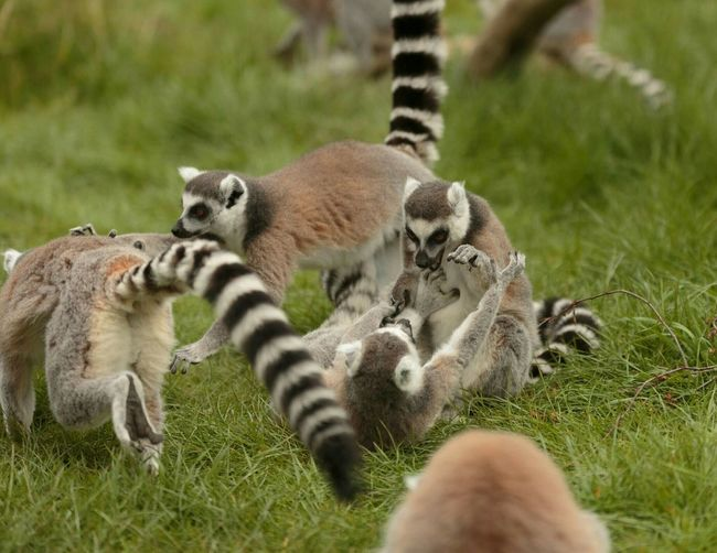 Animals Lemurs Playing Games Playing Zoo Animals  Caged Canon5Dmk3 Beautiful Animals  Lightroom Cc Colour Photography