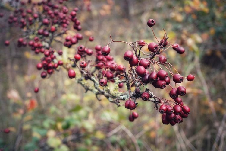 Bokeh Bokeh Photography Plant Berries Red Berries Red Autumn Nature Tree Fruit Berry Fruit Focus On Foreground Close-up Selective Focus Natural Condition Growth