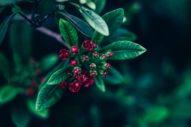 Santo Simon Beauty In Nature Close-up Copy Space Creamy Bokeh Day EyeEmNewHere Focus On Foreground Freshness Fruit Green Color Growth Leaf Nature Outdoors Plant Red Selective Focus Tree Background Matte Flower Bud Foliage Bokeh Flower Head Blooming