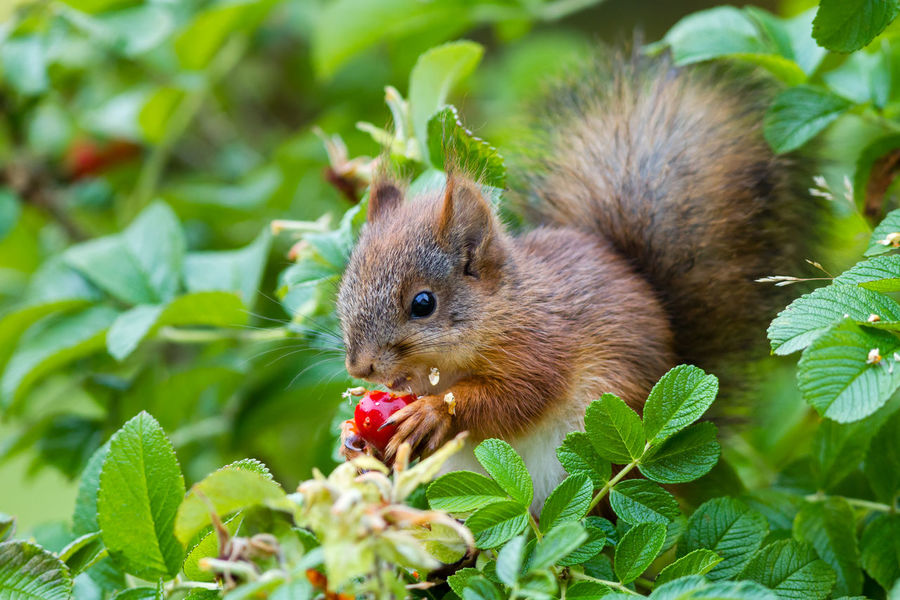 Young Eurasian red squirrel (Sciurus vulgaris) eating a rose hip. Autumn Hungry Red Rose Hip The Week On EyeEm Animal Themes Animal Wildlife Animals In The Wild Beauty In Nature Close-up Day Eating Fruit Furry Tail Garden Green Color Leaf Mammal Nature No People One Animal Outdoors Rose Plant Squirrel Young Animal