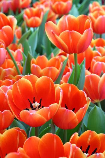 Close-up of orange tulips