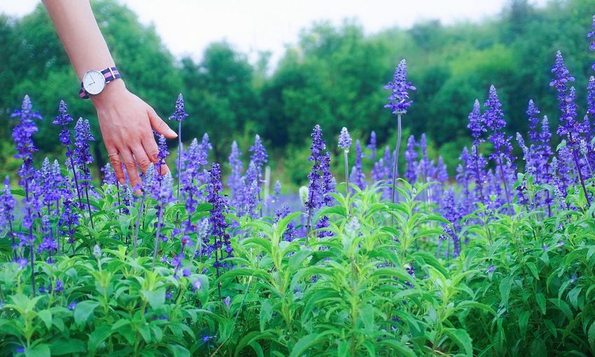 Purple flowering plants on field