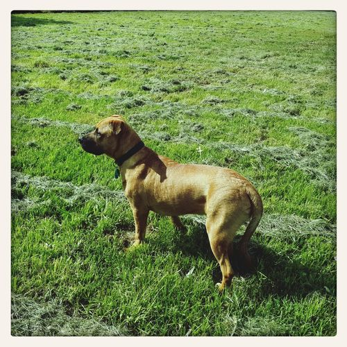 My dog Dog Mastiff Free Walkies Love