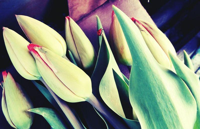 Flowers Tulips🌷 божья коровка