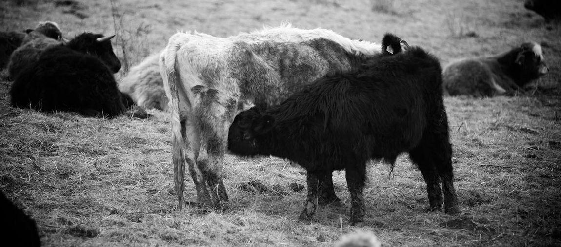 Cattle nr Millington Wood, York Millington Cattle Calf Blackandwhite Black And White