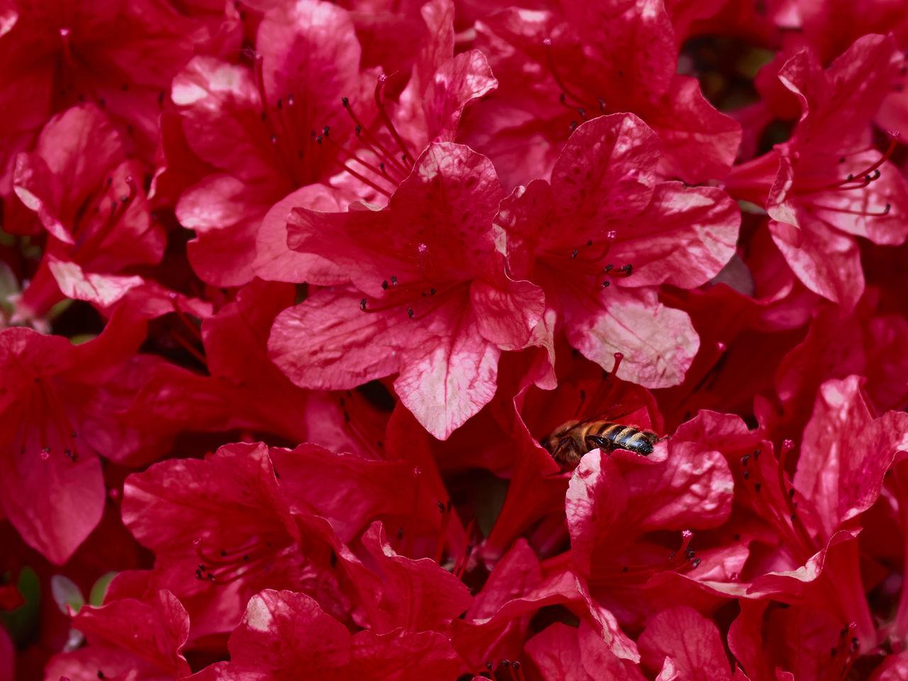 FULL FRAME SHOT OF RED LEAVES ON FRESH WHITE FLOWERS