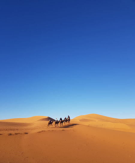 People camel riding in sahara desert against clear blue sky and sands dunes