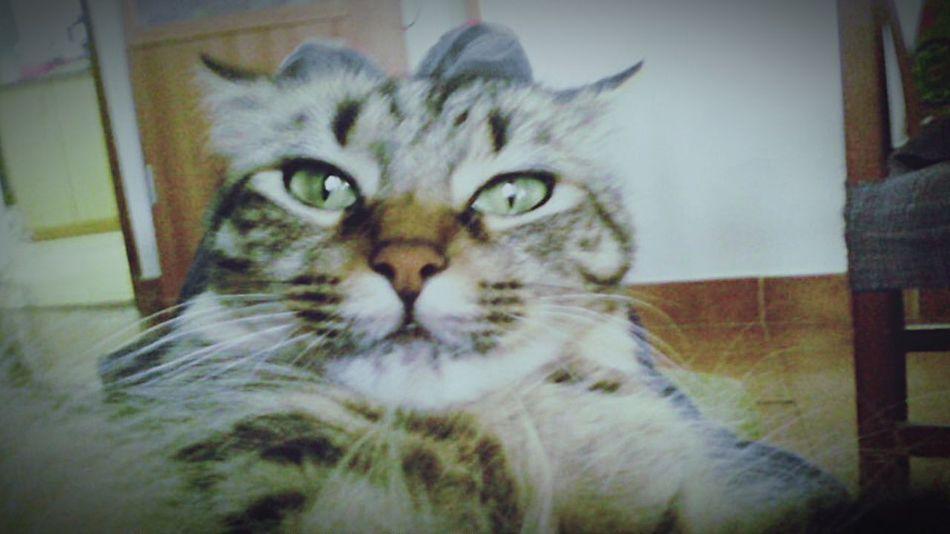 Mi gata con cara de circuntancias..... Gata Animal_collection Animal Photography GataLinda Mi Gata