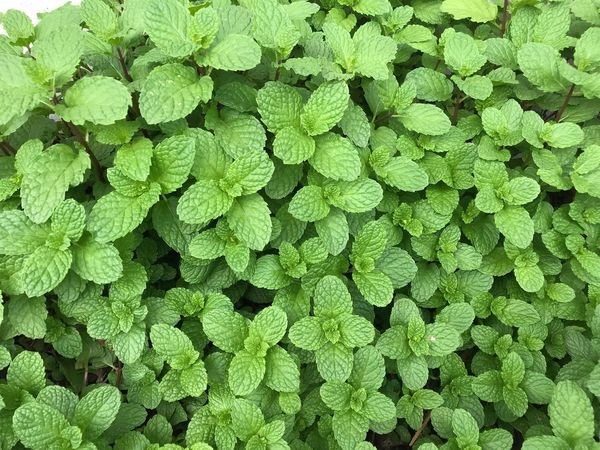 Mint Green Color Backgrounds Full Frame Growth No People Plant Nature