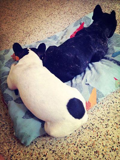 Sleeping Dog Frenchbulldog