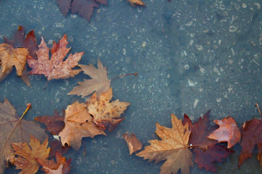 Leaf Autumn Change Maple Leaf Leaves Maple Nature Outdoors Day Beauty In Nature High Angle View Water No People Close-up Fragility Tree