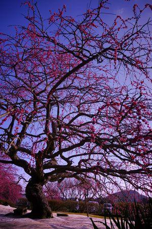 繚 乱 ~Disturbed bloom~ Weeping Plum Plum Blossom EyeEm Nature Lover Flower Flowers Flower Collection Pink Flower Beautiful Nature Hagging A Tree Taking Photos Landscape Blue Sky Tree Silhouette Kagoshima