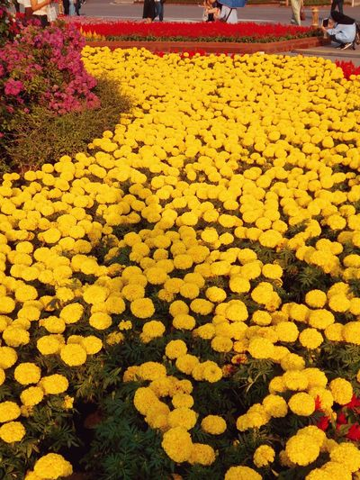 Abundance Close-up Day Flower Flower Head Flowerbed Fragility Freshness Landscape No People Outdoors Plant Yellow