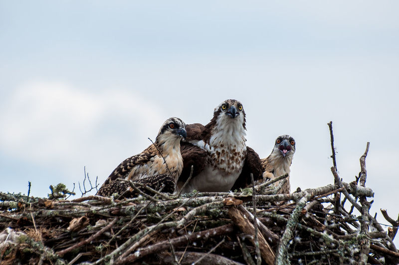 Low angle view of eagles perching against sky