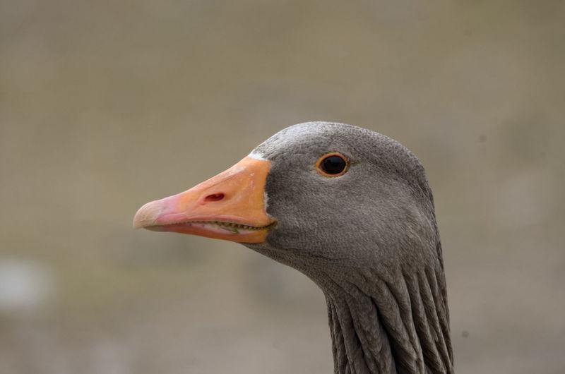 Animal Body Part Animal Neck Bird Close-up Looking Away One Animal Side View Wildlife