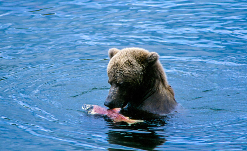 Brown bear eating salmon in river