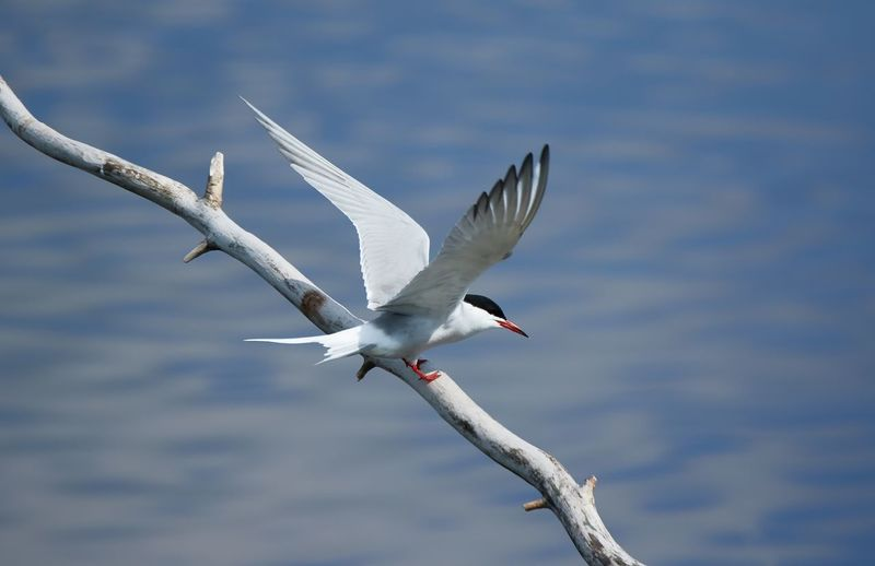 High Angle View Of Tern Perching On Branch Against Lake