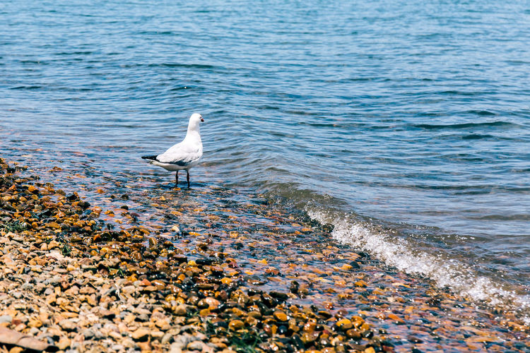 Australia Animal Themes Animal Wildlife Animals In The Wild Beauty In Nature Bird Day Lake Lake Macquarie Nature No People One Animal Outdoors Perching Sea Seagull Water White Color