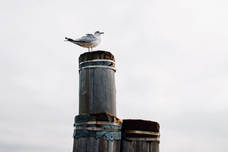 Perching Bird Animal Themes One Animal Animals In The Wild Animal Wildlife No People Day Outdoors Wooden Post Sky Seagull Architectural Column Nature Mourning Dove Close-up