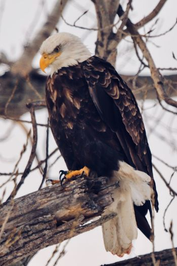 Perched Bald Eagle Bird Vertebrate Animal Animal Themes Animals In The Wild Bird Of Prey Animal Wildlife Branch Tree Perching Eagle Eagle - Bird No People Nature Bald Eagle Focus On Foreground Day One Animal Outdoors
