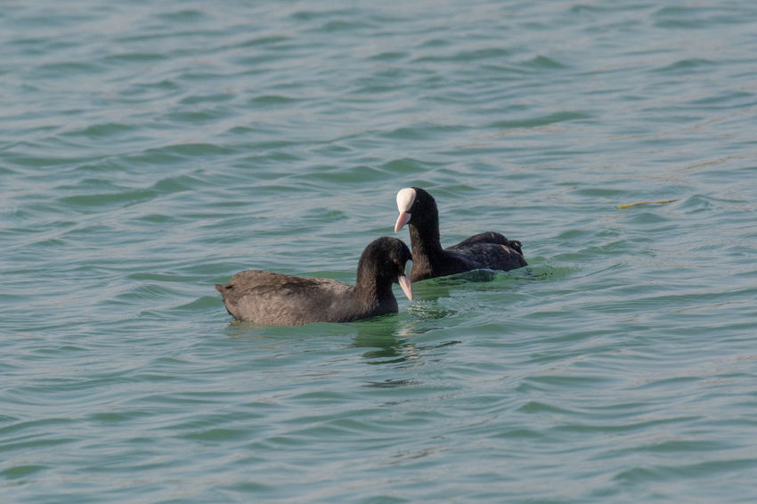 Eurasian coot (Fulica atra) over the water background Animal Themes Animal Wildlife Animals In The Wild Bird Black Swan Day Eurasian Coots Lake Nature No People Outdoors Pelican Swan Swimming Water Water Bird Waterfront Young Animal Young Bird