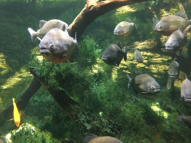 Phirana Animal Animal Themes Water Underwater Animals In The Wild No People Animal Wildlife Fish