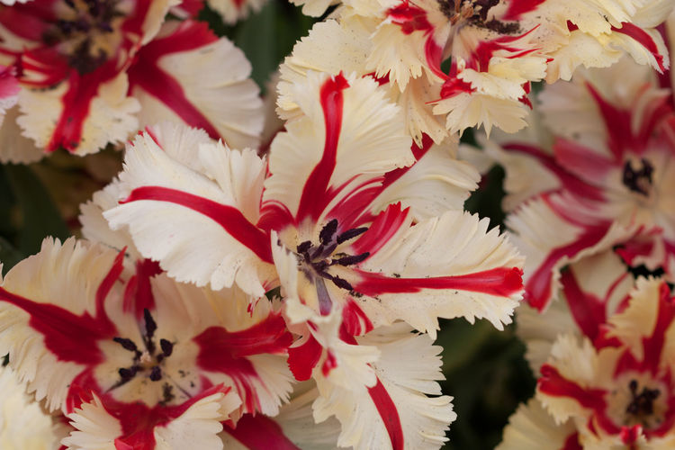Parrot tulips Close Up White And Red Flowers Parrot Tulips Tulips